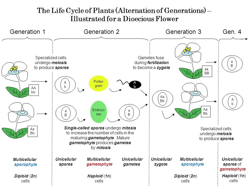 The Life Cycle of Plants (Alternation of Generations) – Illustrated for a Dioecious Flower Generation 1 Multicellular sporophyte Unicellular spores Generation 2 Specialized cells undergo meiosis to produce spores Gametes fuse during fertilization to become a zygote aBaB Aa Bb Single-celled spores undergo mitosis to increase the number of cells in the maturing gametophyte.