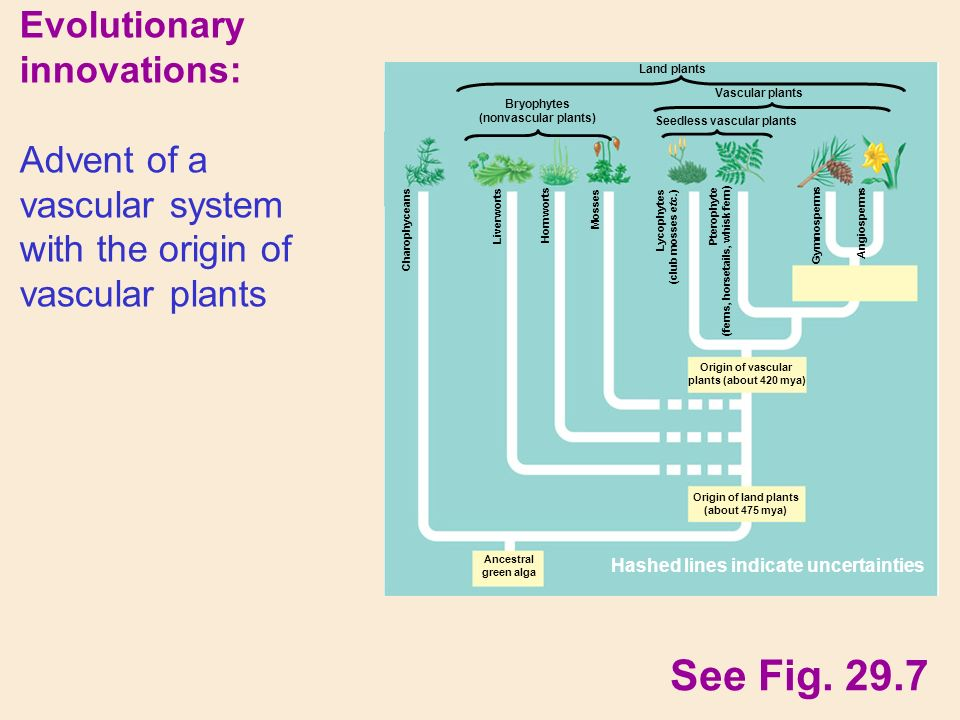 Evolutionary innovations: Advent of a vascular system with the origin of vascular plants See Fig.