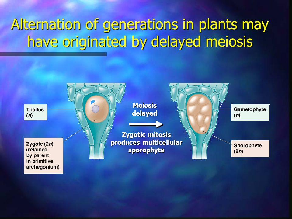 Alternation of generations in plants may have originated by delayed meiosis Meiosisdelayed Zygotic mitosis produces multicellular sporophyte