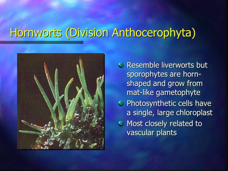 Hornworts (Division Anthocerophyta) Resemble liverworts but sporophytes are horn- shaped and grow from mat-like gametophyte Photosynthetic cells have a single, large chloroplast Most closely related to vascular plants