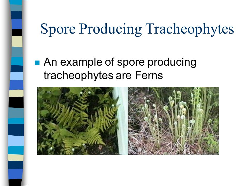 Spore Producing Tracheophytes n An example of spore producing tracheophytes are Ferns