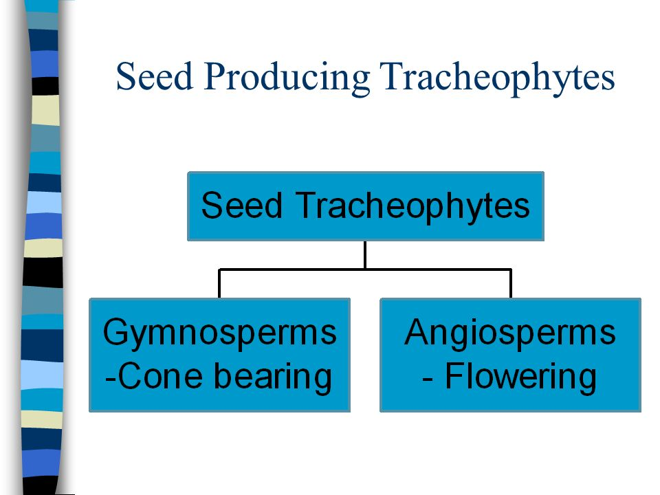 Seed Producing Tracheophytes