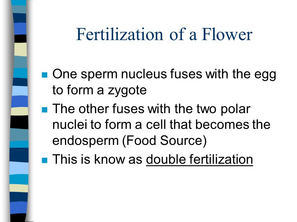 Fertilization of a Flower n One sperm nucleus fuses with the egg to form a zygote n The other fuses with the two polar nuclei to form a cell that becomes the endosperm (Food Source) n This is know as double fertilization