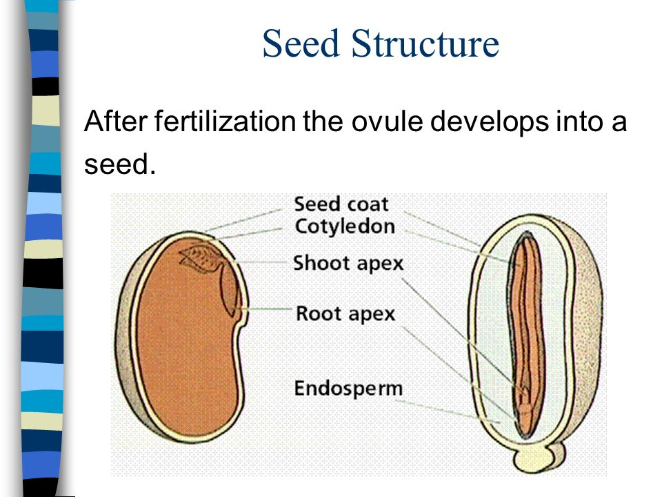 Seed Structure After fertilization the ovule develops into a seed.