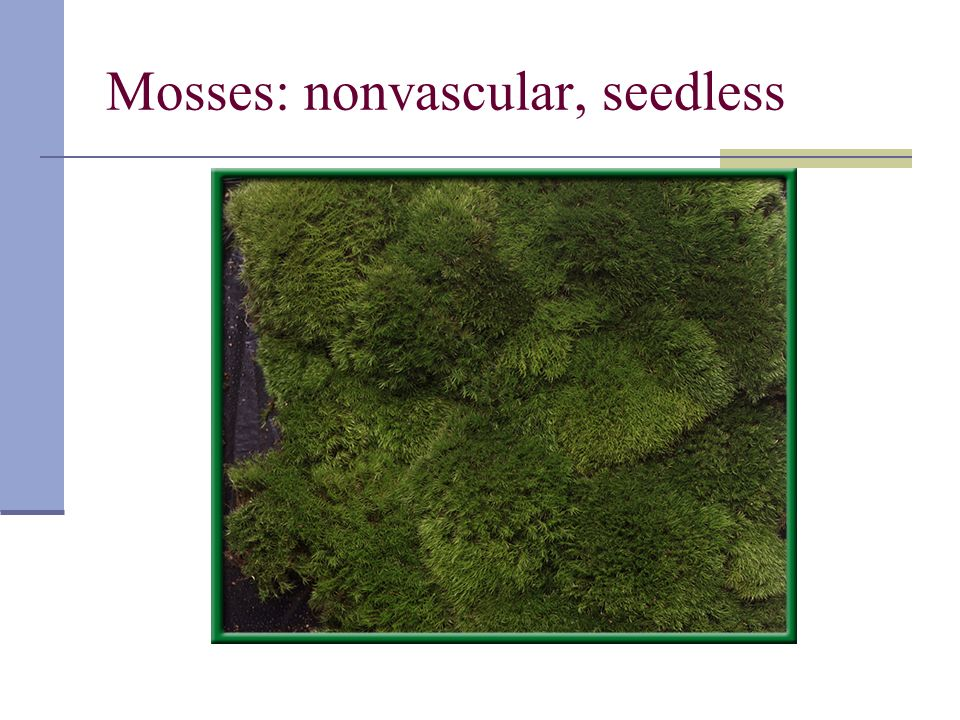 Mosses: nonvascular, seedless