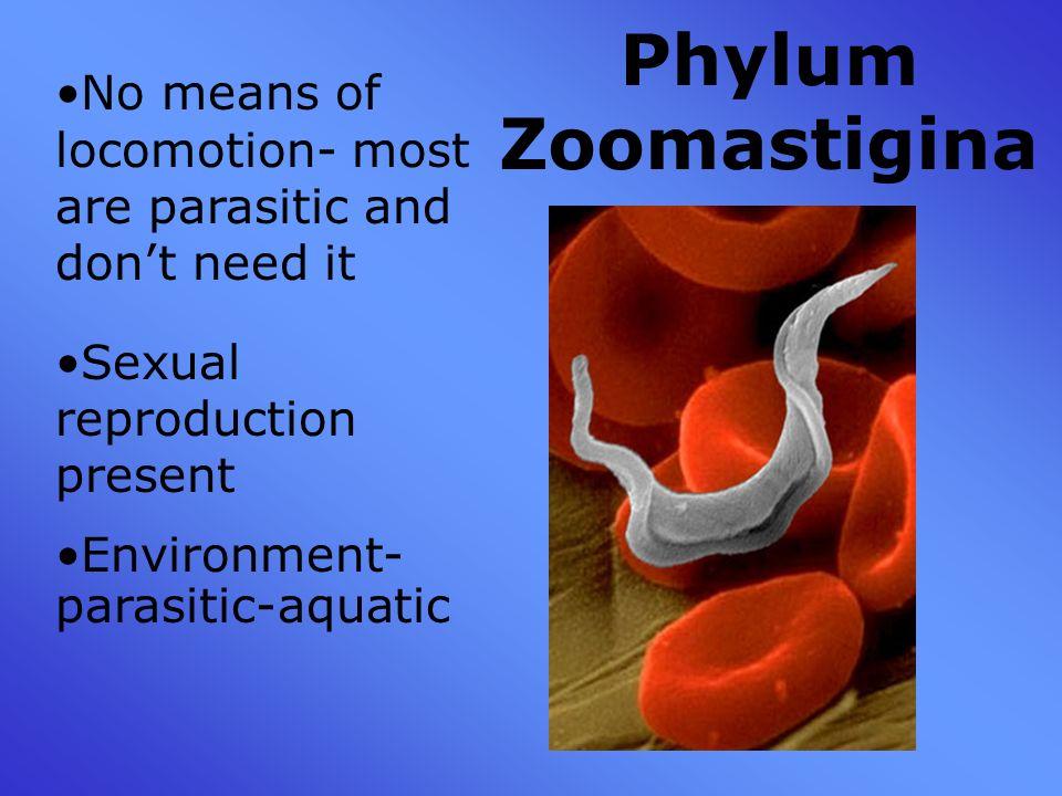 What is the phylum zoomastigina?