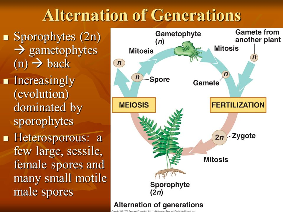 Alternation of Generations Sporophytes (2n)  gametophytes (n)  back Sporophytes (2n)  gametophytes (n)  back Increasingly (evolution) dominated by sporophytes Increasingly (evolution) dominated by sporophytes Heterosporous: a few large, sessile, female spores and many small motile male spores Heterosporous: a few large, sessile, female spores and many small motile male spores