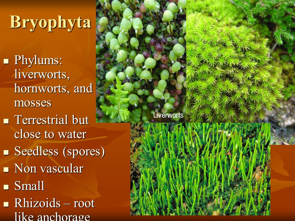 Bryophyta Phylums: liverworts, hornworts, and mosses Phylums: liverworts, hornworts, and mosses Terrestrial but close to water Terrestrial but close to water Seedless (spores) Seedless (spores) Non vascular Non vascular Small Small Rhizoids – root like anchorage system Rhizoids – root like anchorage system No flowers No flowers