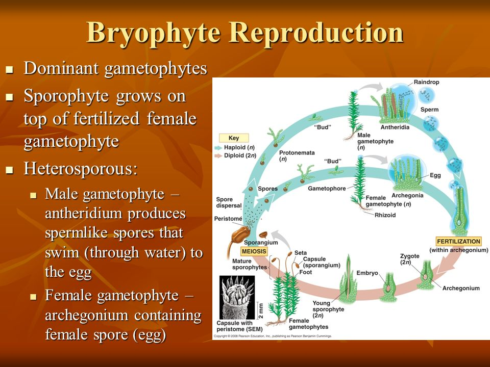 Bryophyte Reproduction Dominant gametophytes Dominant gametophytes Sporophyte grows on top of fertilized female gametophyte Sporophyte grows on top of fertilized female gametophyte Heterosporous: Heterosporous: Male gametophyte – antheridium produces spermlike spores that swim (through water) to the egg Male gametophyte – antheridium produces spermlike spores that swim (through water) to the egg Female gametophyte – archegonium containing female spore (egg) Female gametophyte – archegonium containing female spore (egg)
