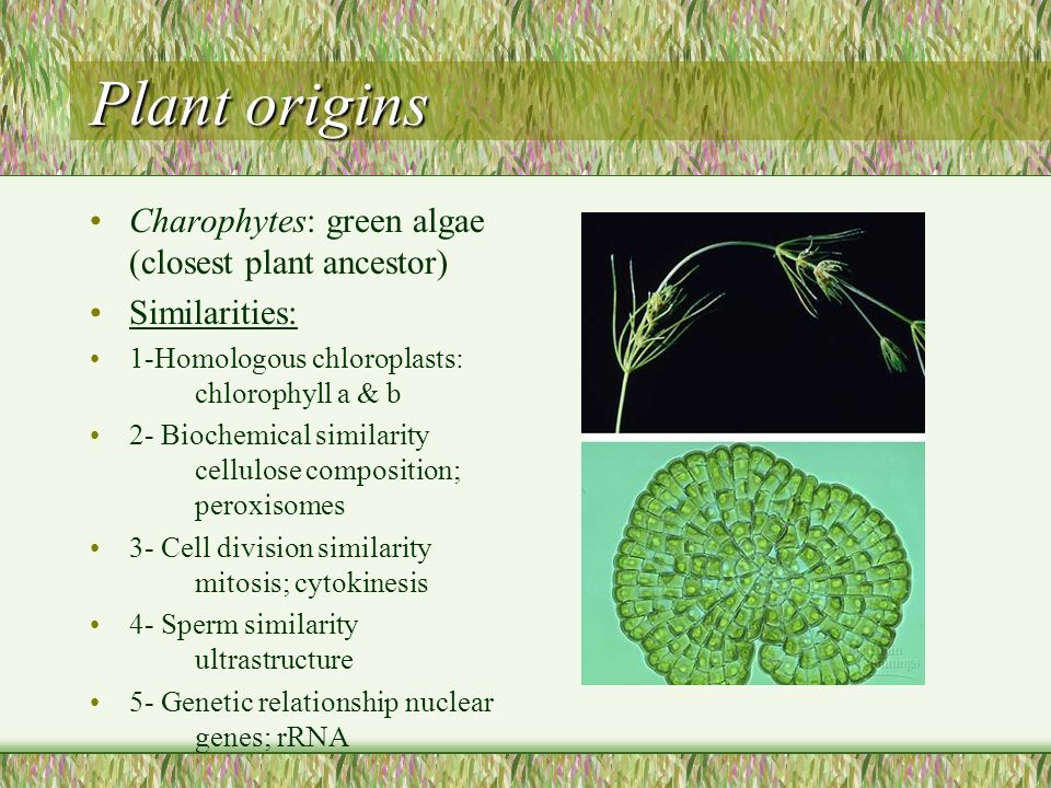 Plant origins Charophytes: green algae (closest plant ancestor) Similarities: 1-Homologous chloroplasts: chlorophyll a & b 2- Biochemical similarity cellulose composition; peroxisomes 3- Cell division similarity mitosis; cytokinesis 4- Sperm similarity ultrastructure 5- Genetic relationship nuclear genes; rRNA