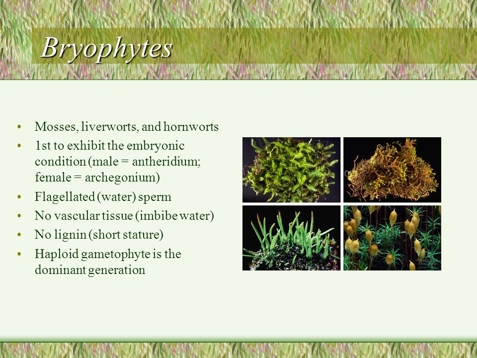 Bryophytes Mosses, liverworts, and hornworts 1st to exhibit the embryonic condition (male = antheridium; female = archegonium) Flagellated (water) sperm No vascular tissue (imbibe water) No lignin (short stature) Haploid gametophyte is the dominant generation