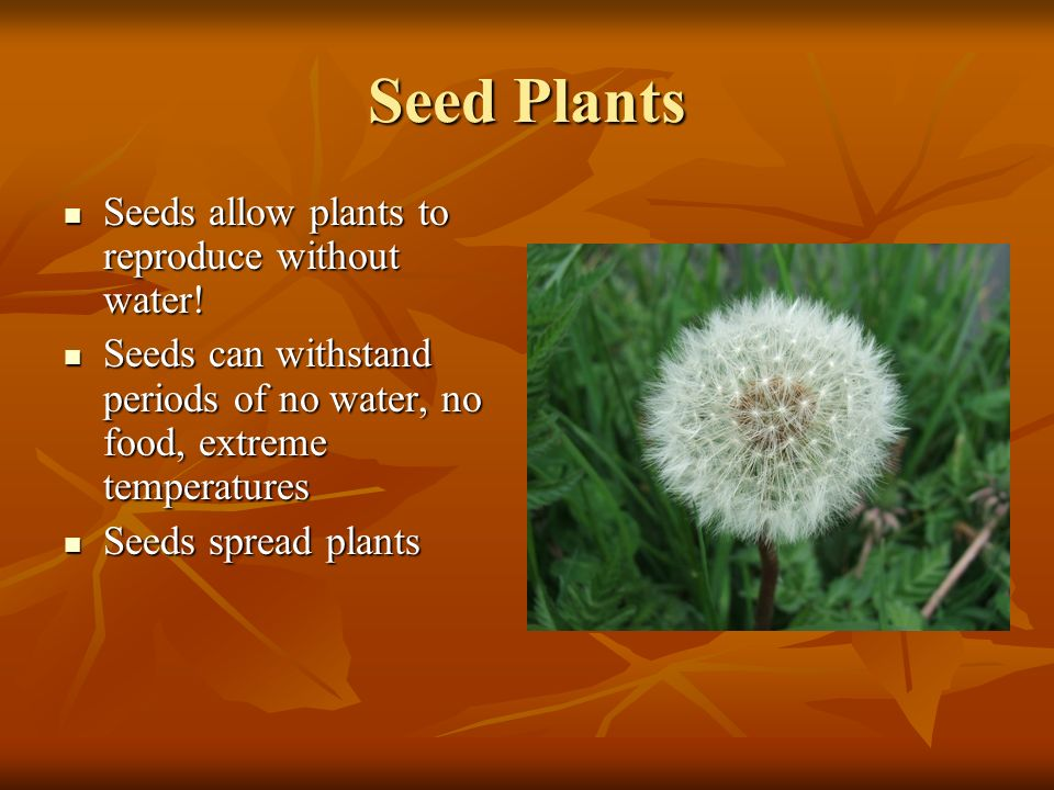 Seed Plants Seeds allow plants to reproduce without water.