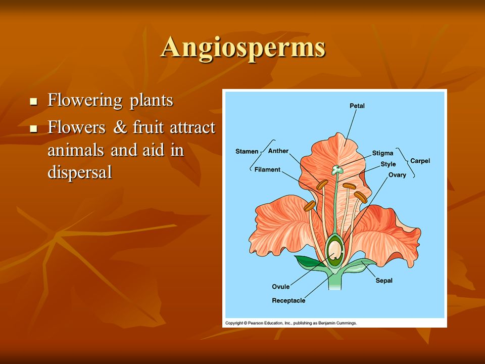 Angiosperms Flowering plants Flowering plants Flowers & fruit attract animals and aid in dispersal Flowers & fruit attract animals and aid in dispersal