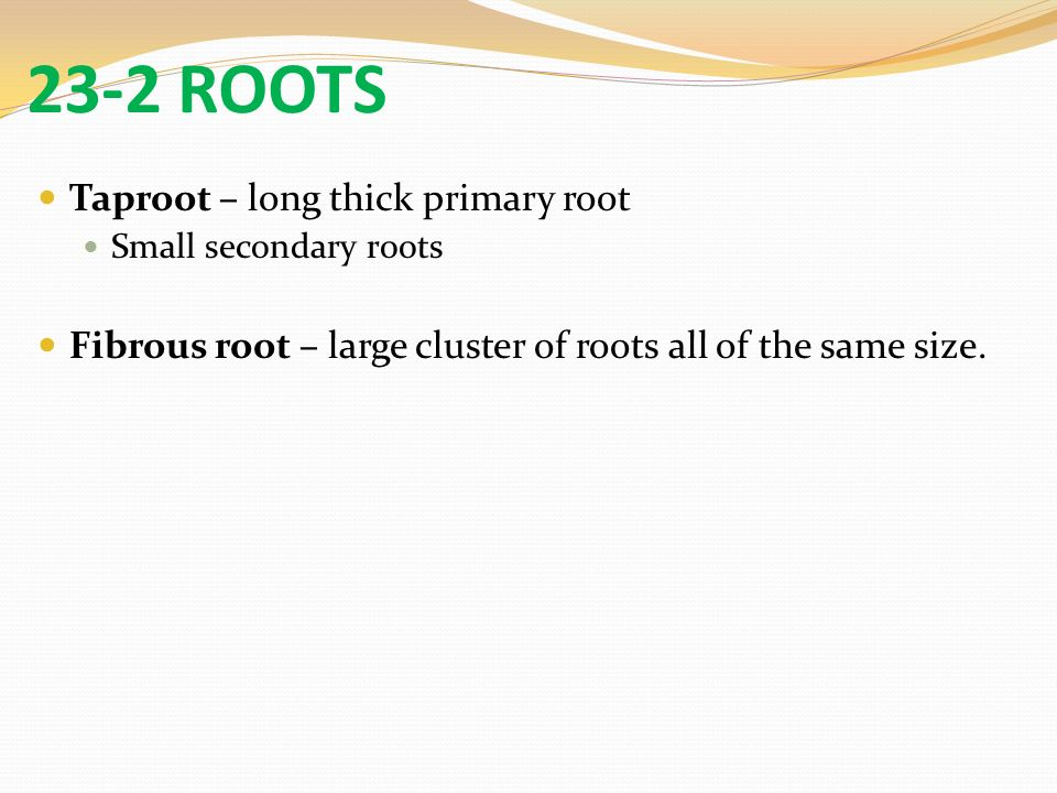 23-2 ROOTS Taproot – long thick primary root Small secondary roots Fibrous root – large cluster of roots all of the same size.