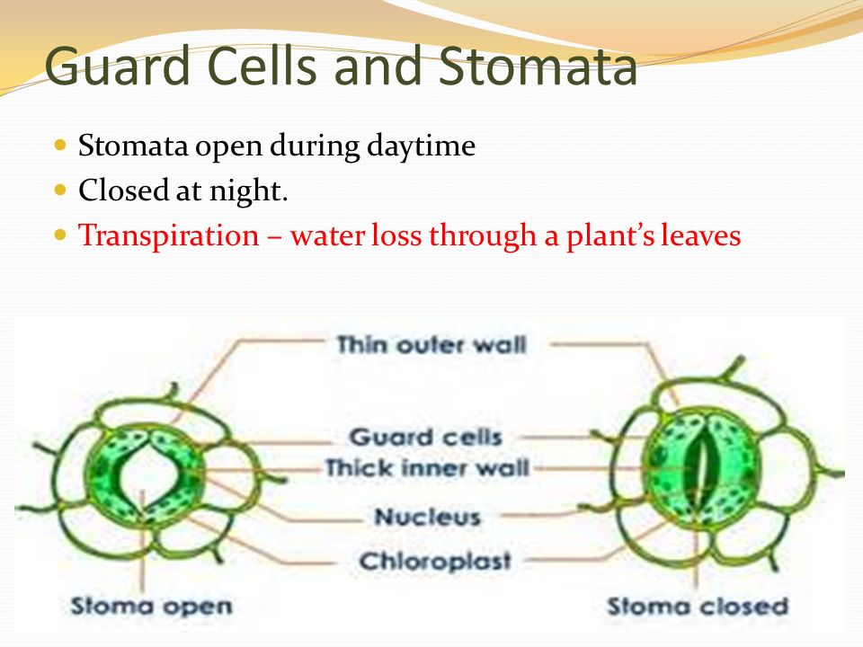 Guard Cells and Stomata Stomata open during daytime Closed at night.