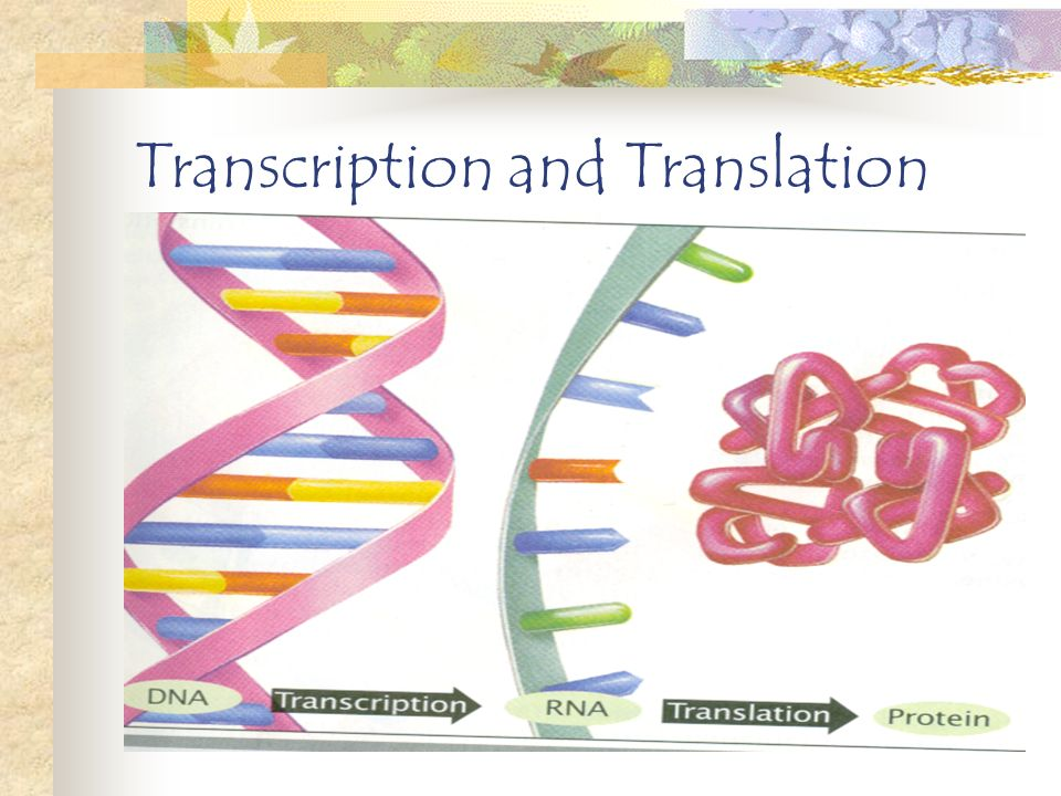 Transcription and Translation Transcription is when a copy of RNA is made by using the DNA template Translation is when three different kinds of RNA work together in order to assemble amino acids into proteins