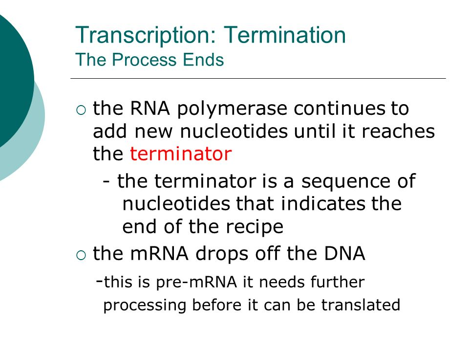 Transcription: Elongation Building the mRNA Molecule  RNA polymerase brings RNA nucleotides to the template strand -pairs them with their complements on the original DNA molecule -this follows the base pairing rules except that uracil replaces thymine - Adenine on DNA is paired with Uracil (U) on the new mRNA