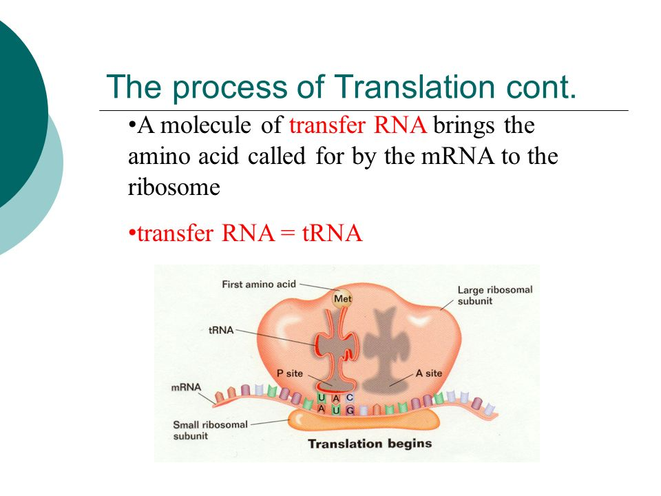 Translation  The ribosome moves along the mRNA until it reaches the Start codon  Start codon = AUG signals the start of the recipe  AUG also codes for the amino acid methionine