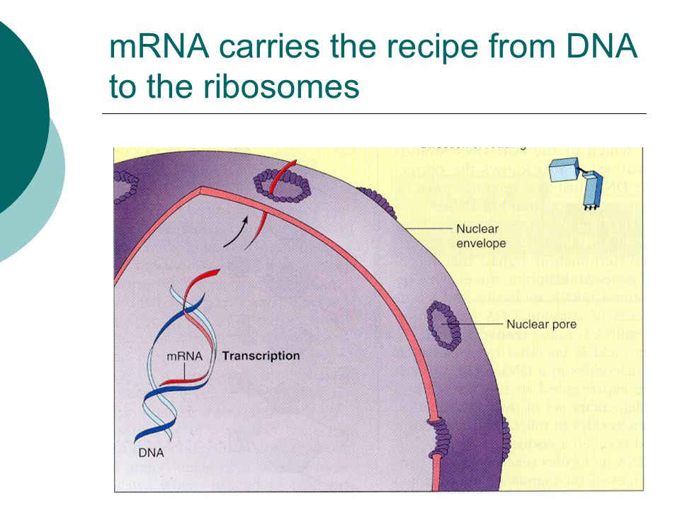 mRNA – messenger RNA  mRNA is a copy of the recipe for a protein.