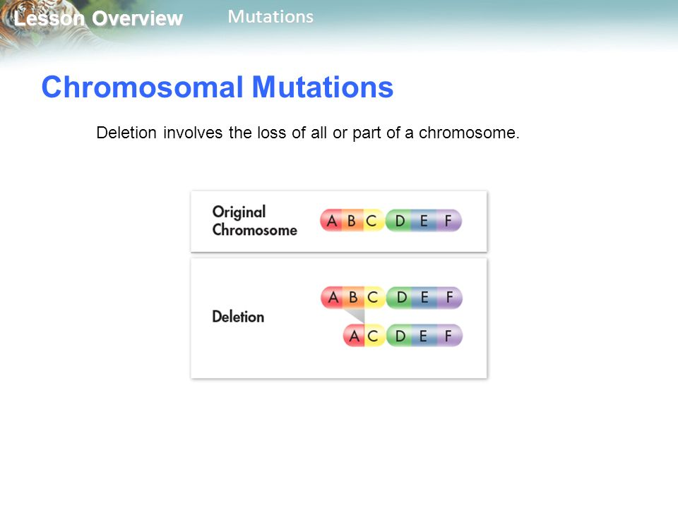 Lesson Overview Lesson OverviewMutations Chromosomal Mutations Deletion involves the loss of all or part of a chromosome.