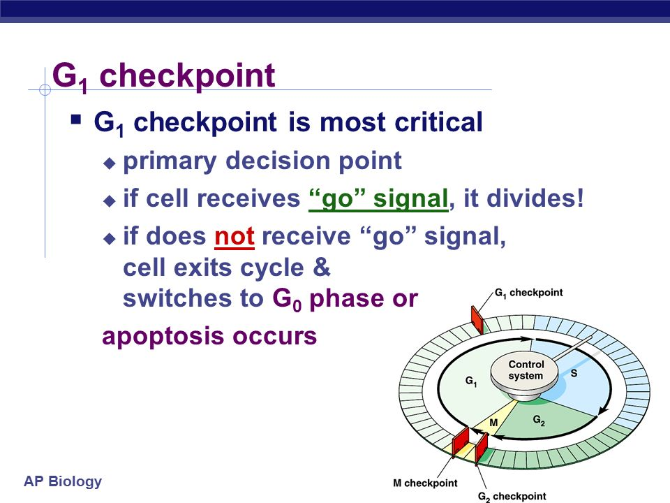 AP Biology G 1 checkpoint  G 1 checkpoint is most critical  primary decision point  if cell receives go signal, it divides.