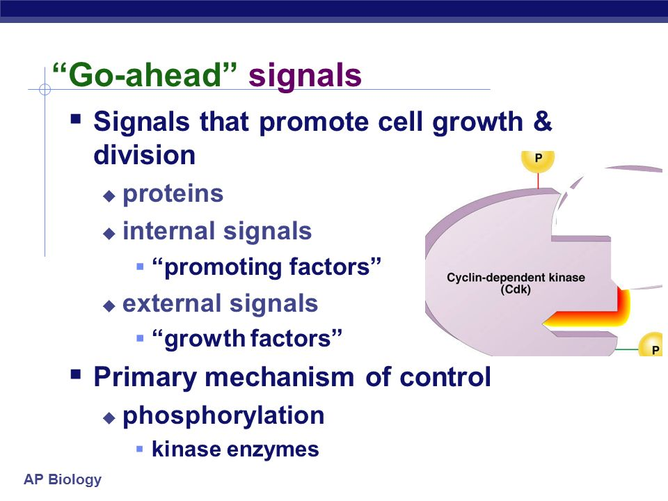 AP Biology Go-ahead signals  Signals that promote cell growth & division  proteins  internal signals  promoting factors  external signals  growth factors  Primary mechanism of control  phosphorylation  kinase enzymes