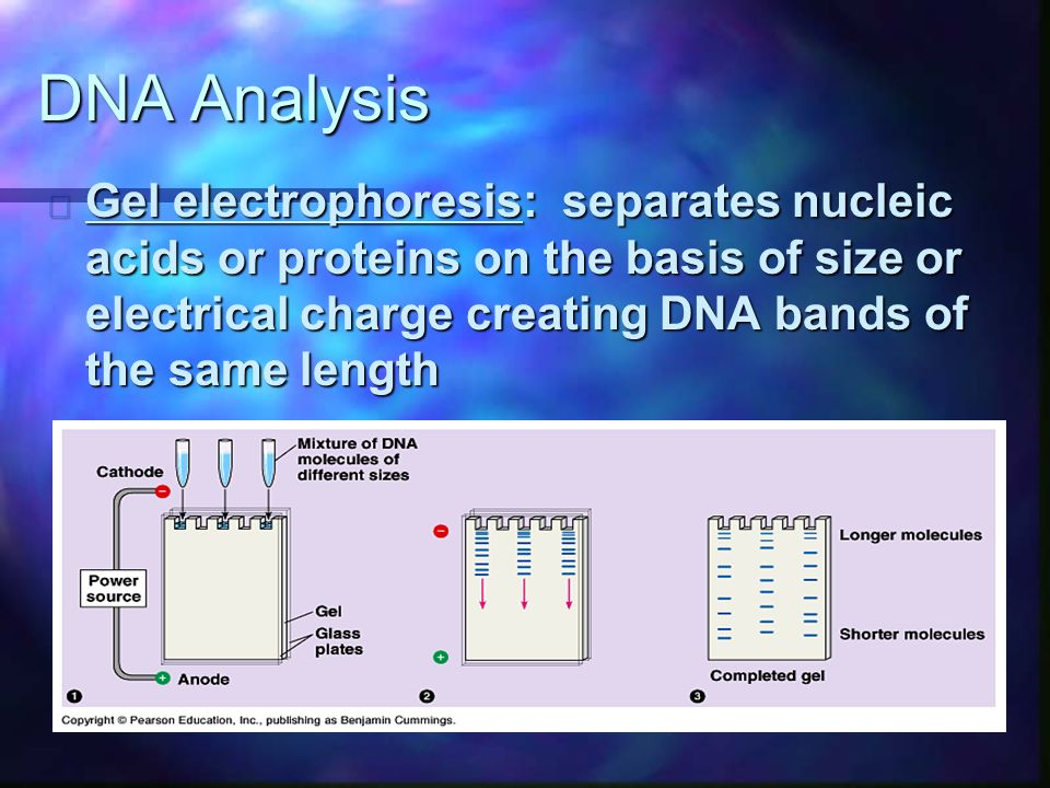 DNA Analysis n Gel electrophoresis: separates nucleic acids or proteins on the basis of size or electrical charge creating DNA bands of the same length