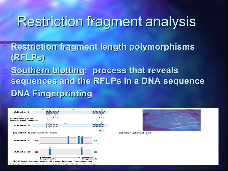 Restriction fragment analysis n Restriction fragment length polymorphisms (RFLPs) n Southern blotting: process that reveals sequences and the RFLPs in a DNA sequence n DNA Fingerprinting