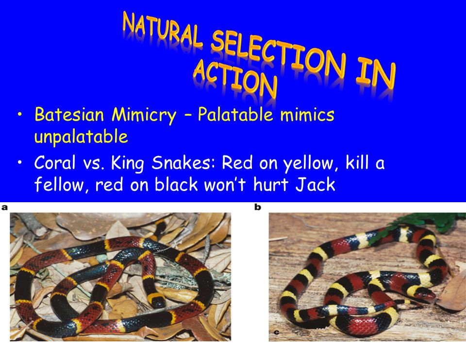 Mullerian Mimicry – Unpalatable mimics unpalatable Monarch or Viceroy Butterfly