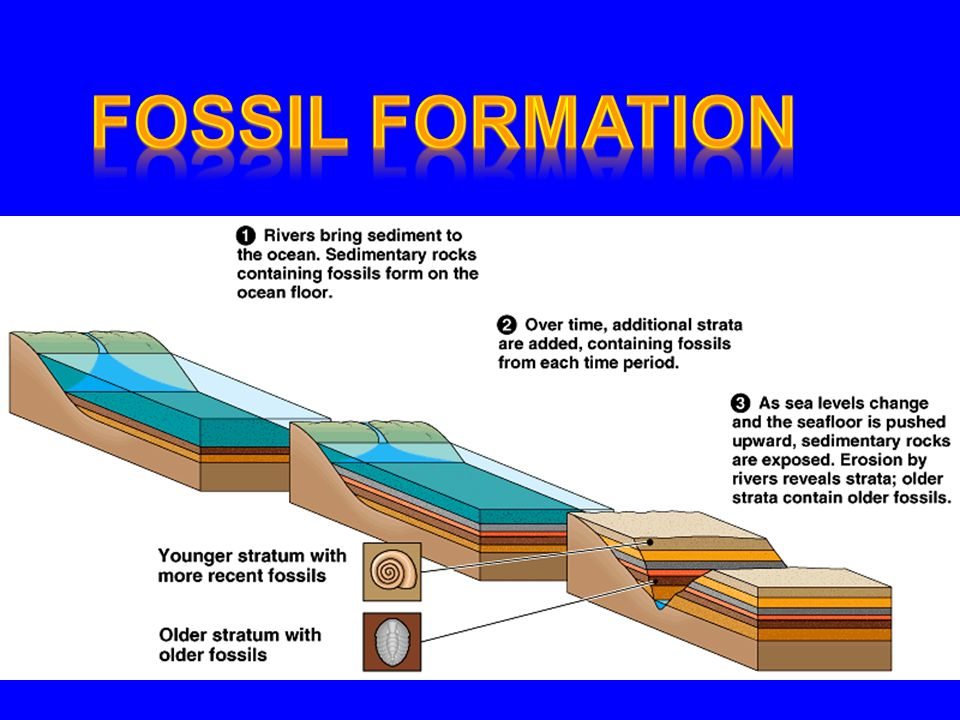 Paleontology - Study of Fossils Fossil - preserved evidence of past life a.