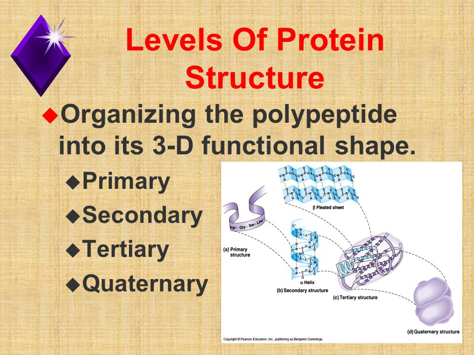 Levels Of Protein Structure u Organizing the polypeptide into its 3-D functional shape.