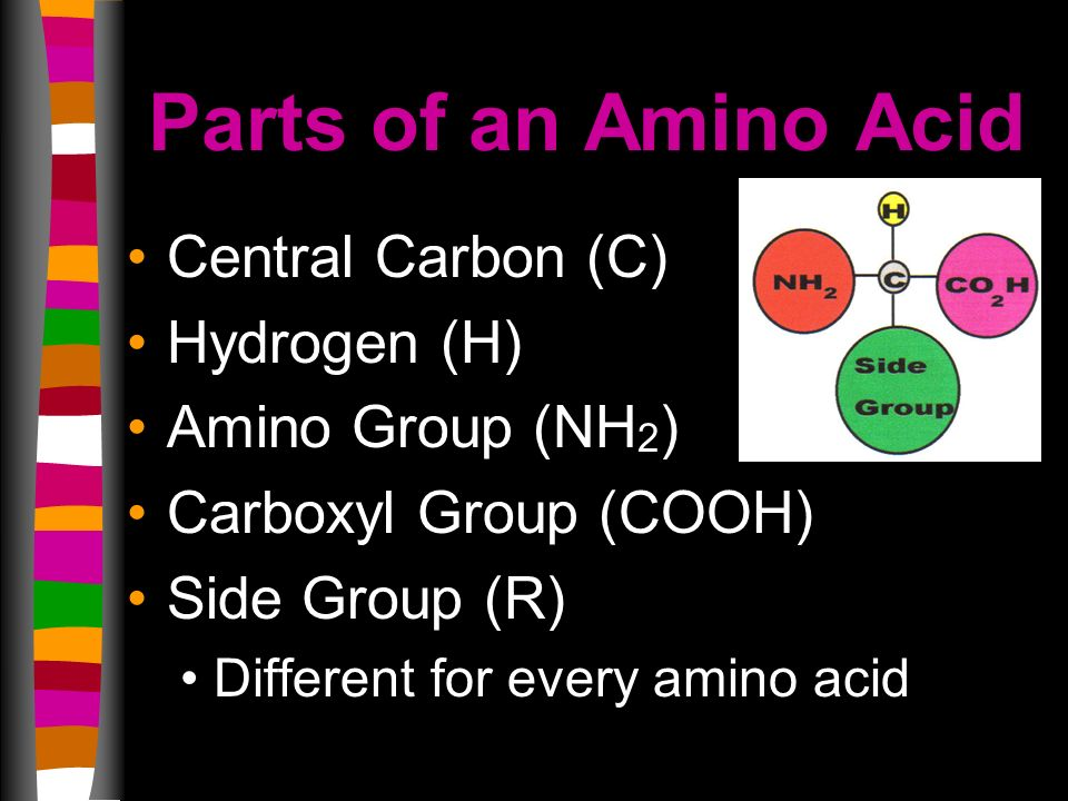 Parts of an Amino Acid Central Carbon (C) Hydrogen (H) Amino Group (NH 2 ) Carboxyl Group (COOH) Side Group (R) Different for every amino acid