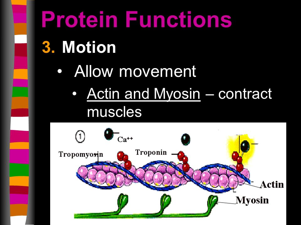 Protein Functions 3.Motion Allow movement Actin and Myosin – contract muscles