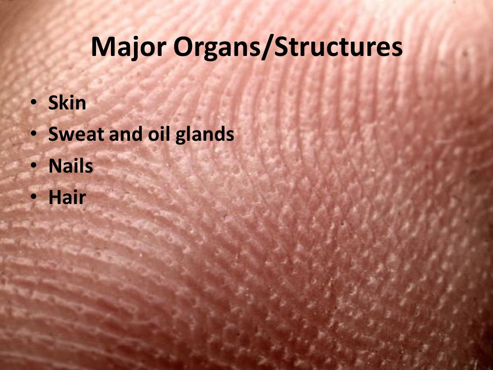 Major Organs/Structures Skin Sweat and oil glands Nails Hair