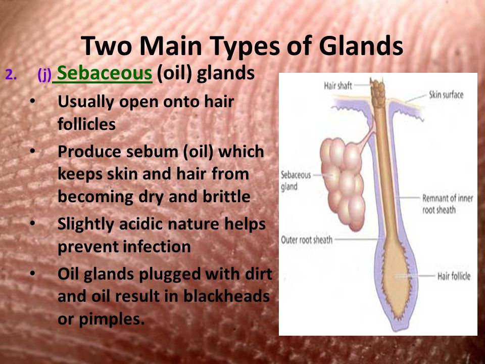 Two Main Types of Glands 2.(j) Sebaceous (oil) glands Usually open onto hair follicles Produce sebum (oil) which keeps skin and hair from becoming dry and brittle Slightly acidic nature helps prevent infection Oil glands plugged with dirt and oil result in blackheads or pimples.