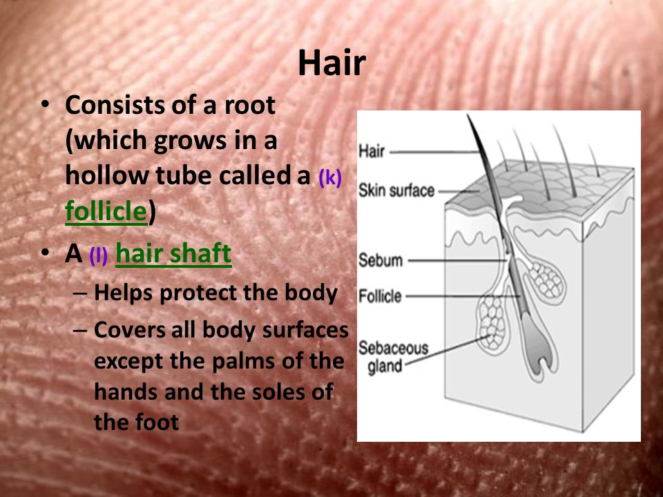 Hair Consists of a root (which grows in a hollow tube called a (k) follicle) A (l) hair shaft – Helps protect the body – Covers all body surfaces except the palms of the hands and the soles of the foot