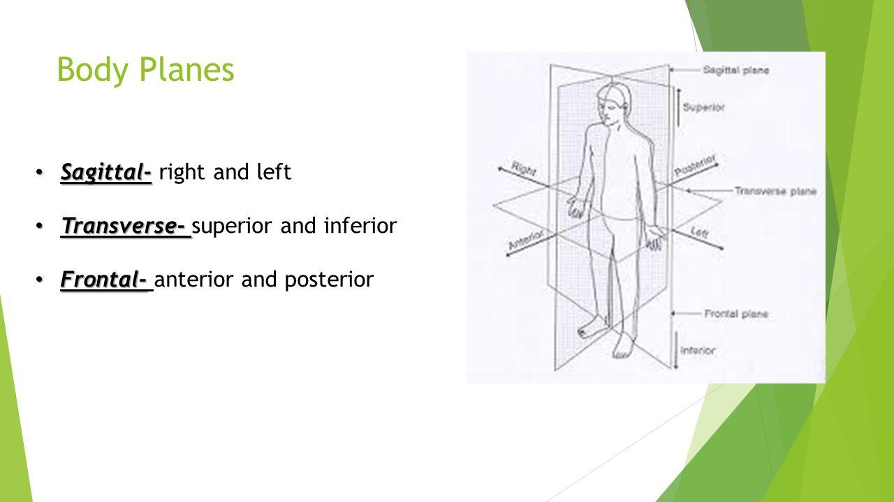 Sagittal plane anatomy