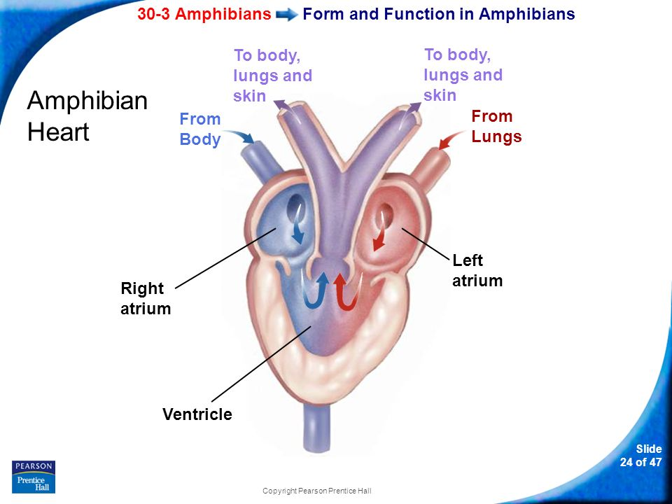 Slide 1 of 47 copyright pearson prentice hall biology ppt download 24 30 3 amphibians slide 24 of 47 copyright pearson prentice hall form and function in amphibians amphibian heart right atrium left atrium ventricle from ccuart Gallery