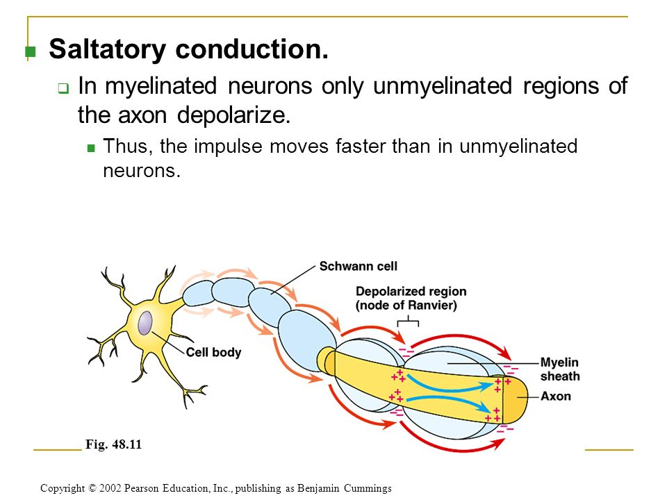 Saltatory conduction.  In myelinated neurons only unmyelinated regions of the axon depolarize.