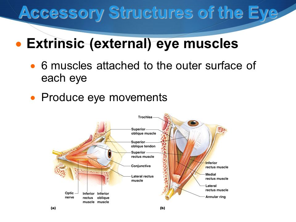 Accessory Structures of the Eye  Extrinsic (external) eye muscles  6 muscles attached to the outer surface of each eye  Produce eye movements