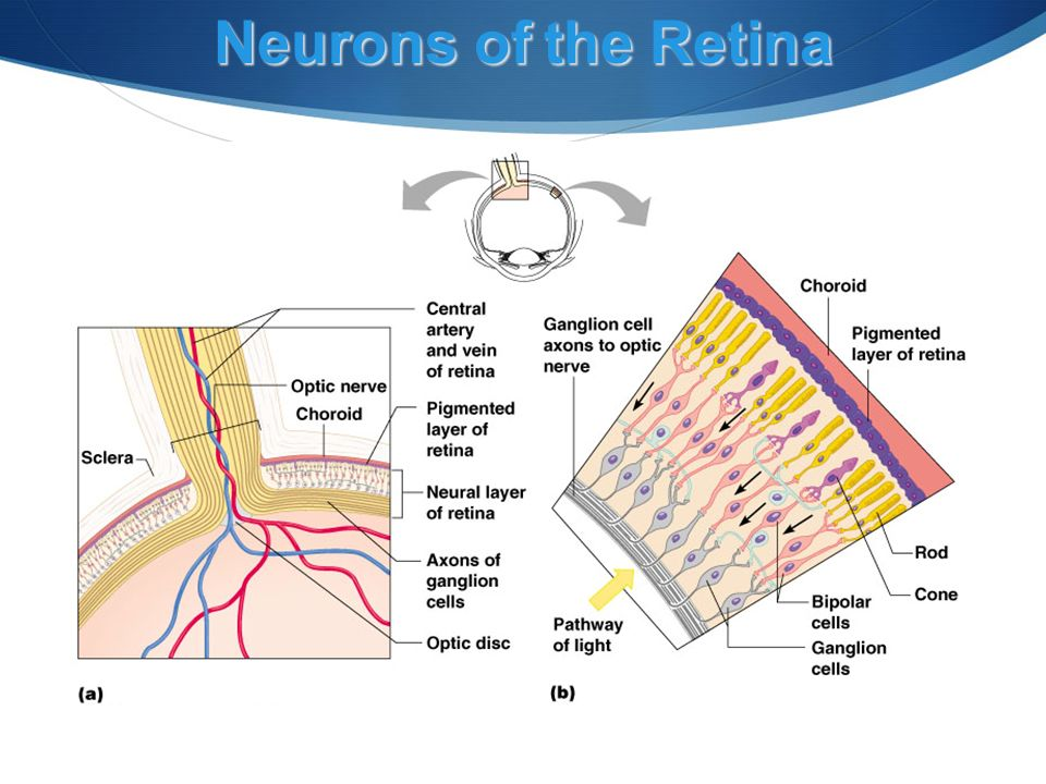 Neurons of the Retina