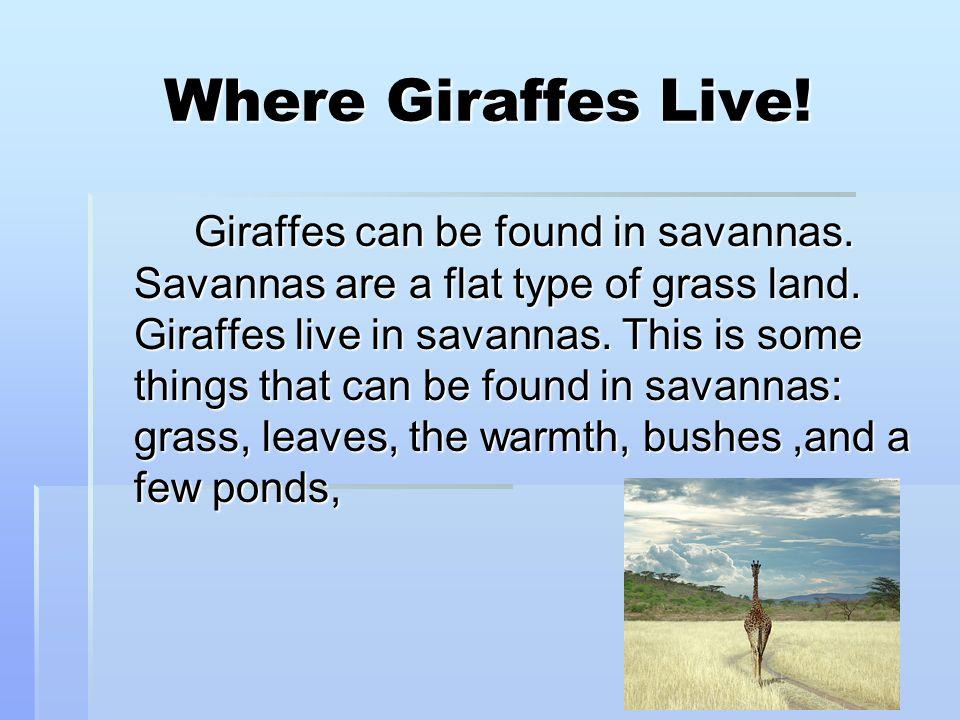 Where Giraffes Live.Giraffes can be found in savannas.