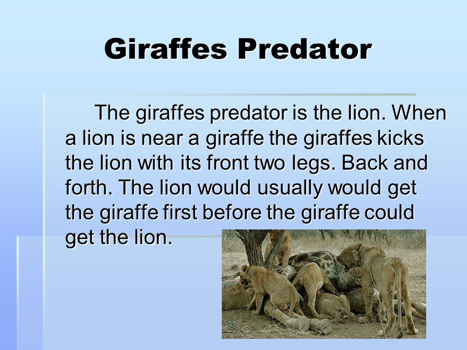Giraffes Predator The giraffes predator is the lion.