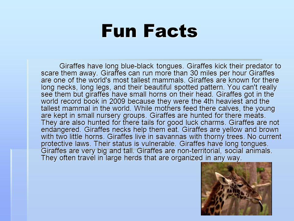 Fun Facts Giraffes have long blue-black tongues.Giraffes kick their predator to scare them away.