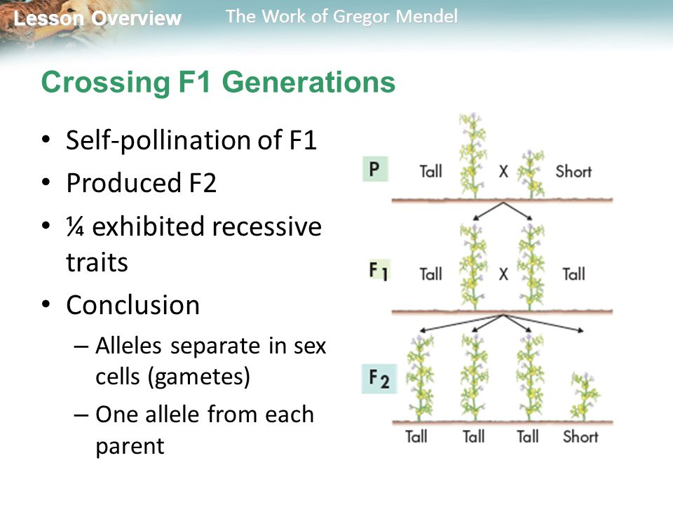 Lesson Overview Lesson Overview The Work of Gregor Mendel Crossing F1 Generations Self-pollination of F1 Produced F2 ¼ exhibited recessive traits Conclusion – Alleles separate in sex cells (gametes) – One allele from each parent