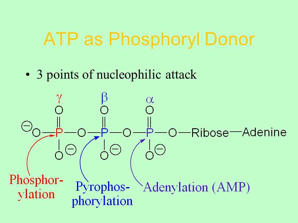 ATP as Phosphoryl Donor 3 points of nucleophilic attack