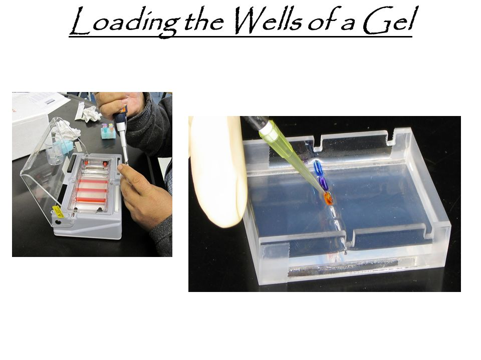 Loading the Wells of a Gel