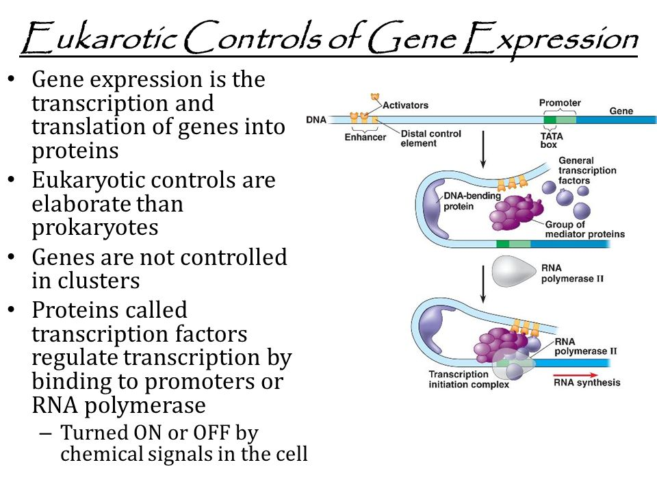 Eukarotic Controls of Gene Expression Gene expression is the transcription and translation of genes into proteins Eukaryotic controls are elaborate than prokaryotes Genes are not controlled in clusters Proteins called transcription factors regulate transcription by binding to promoters or RNA polymerase – Turned ON or OFF by chemical signals in the cell