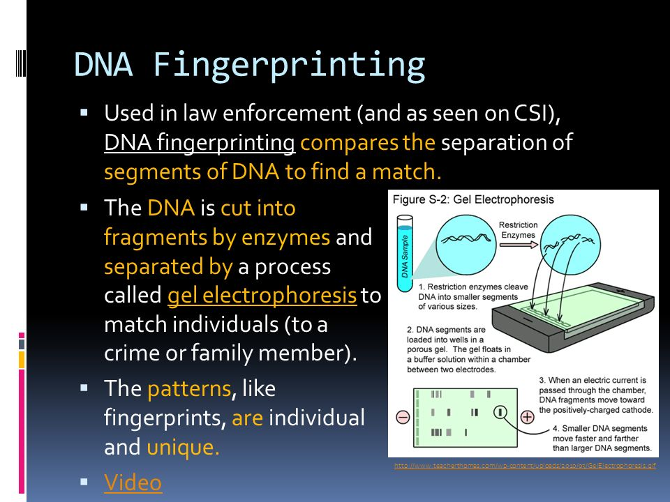 On the following slides the yellow sections identify the main 3 dna fingerprinting ccuart Image collections
