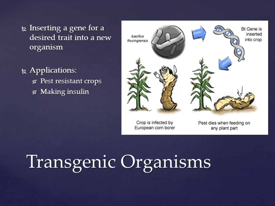Transgenic Organisms  Inserting a gene for a desired trait into a new organism  Applications:  Pest resistant crops  Making insulin